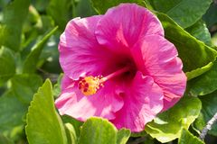 Rosa hibiskusblommor vet s? som skoblommor eller kinesiska blommor fotografering för bildbyråer