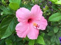 Rosa hibiskussyriacusblomma i naturträdgård Arkivfoton