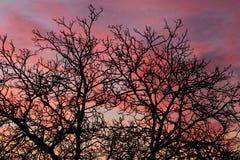Rosa himlar med kala trädfilialer royaltyfri fotografi
