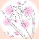 Rosa Hintergrund mit einer Iris Stockbild