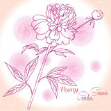 Rosa Hintergrund mit einer Pfingstrose stock abbildung