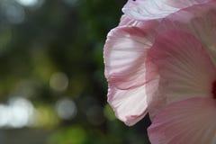 Rosa Hintergrundblume stockbild