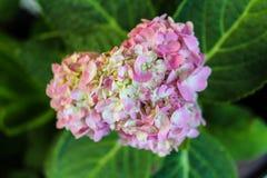 Rosa hjärtavanlig hortensia Arkivbild