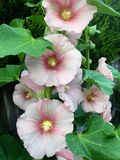 Rosa hollyhock Royaltyfria Bilder
