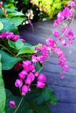 Rosa Honolulu-Kriechpflanze, Gartenholzweg Stockbild