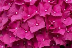 Rosa hortensia Arkivbilder