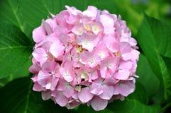 Rosa - hortensia blanca Imagen de archivo