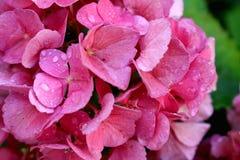 Rosa Hortensiablüten mit Wassertropfen und grünem Hintergrund stockfotos
