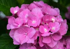 Rosa Hortensiablume Stockfoto