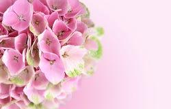 Rosa Hortensie blüht Hintergrund Stockbilder