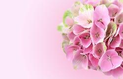 Rosa Hortensie blüht Hintergrund Lizenzfreies Stockbild