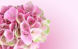 Rosa Hortensie blüht Hintergrund Stockfotos