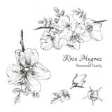 Rosa Hugonis ink sketch. Dog-rose. Isolated. Hand drawn outline style Royalty Free Stock Photos