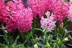 Rosa hyacint Arkivfoton