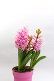 Rosa hyacint Arkivbild
