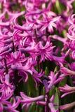 rosa hyacint Arkivfoto
