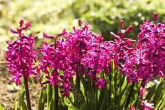 rosa hyacint Fotografering för Bildbyråer