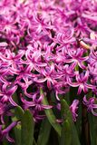 rosa hyacint Royaltyfri Bild