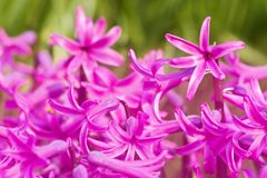 rosa hyacint Royaltyfri Foto