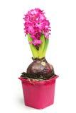 Rosa hyacint i blommakruka Arkivfoton