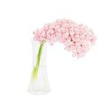 Rosa hyacint i vasen som isoleras över vit Arkivbilder