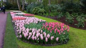 Rosa hyacint- och tulpanKeukenhof Nederländerna Fotografering för Bildbyråer