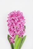 Rosa hyacint på vit bakgrund Arkivfoton
