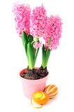 Rosa hyacintblomma med easter ägg Arkivfoto
