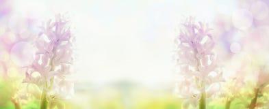 Rosa hyacinter i tillbaka ljus, baner för website Arkivfoto