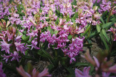 Rosa Hyacinth Hyacinthus Stockbilder