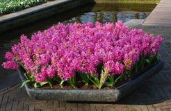Rosa Hyacinth Hyacinthus-Betriebswachstum im Steinblumentopf lizenzfreie stockbilder