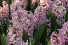 Rosa Hyacinthus, Spezies orientalis, Hyazinthe Knollenblumen des attraktiven Frühlinges stockbild