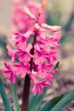 rosa Hyazinthe Stockbilder