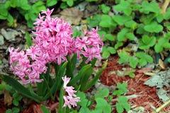 Rosa Hyazinthen in der Blüte Stockfotos