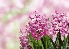 Rosa Hyazinthen des Frühlinges über unscharfem Hintergrund. Stockfotografie