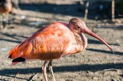 Rosa IBIS-Vogel Stockfoto