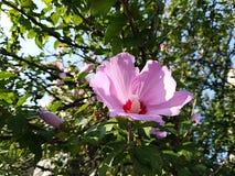 Rosa Ibiscus Stockbilder