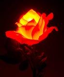 Rosa illuminata Fotografie Stock Libere da Diritti