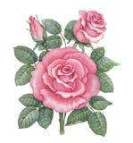 Rosa illustration för vattenfärg Royaltyfria Foton