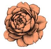 Rosa Illustrazione di matita Immagini Stock