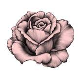 Rosa Illustrazione di matita Fotografia Stock Libera da Diritti