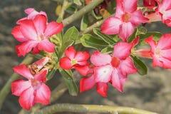Rosa impalalilja Royaltyfria Bilder