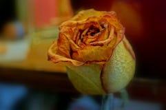 Rosa inoperante Foto de Stock Royalty Free