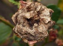 A rosa inoperante matada por lagartas, fecha acima tiro detalhado recolhido o Reino Unido foto de stock royalty free