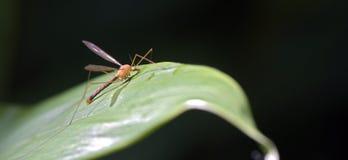 Rosa Insekt auf dem grünen Blatt Stockfotos