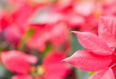 Rosa-intenso con il fondo della sfuocatura Fotografia Stock