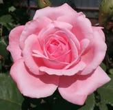 Rosa, rosa, isolado, fundo, jardim, bonito, close up, rosas, flor, natureza, verde, cor, verão, presente, textura, fresca, w Imagens de Stock