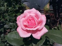 Rosa, rosa, isolado, fundo, jardim, bonito, close up, rosas, flor, natureza, verde, cor, verão, presente, textura, fresca, w Imagem de Stock