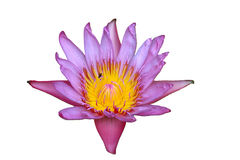 Rosa Isolat waterlily auf weißem Hintergrund Lizenzfreie Stockfotografie