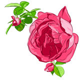 Rosa isolato è aumentato con i germogli su un fondo bianco Fotografia Stock Libera da Diritti